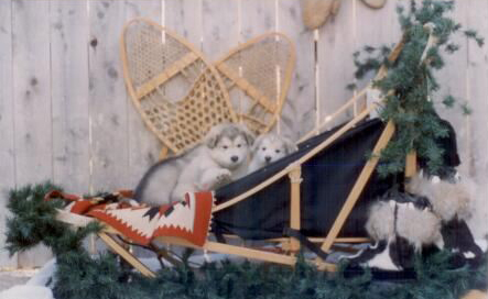 Winward's Buddy as a pup in sled