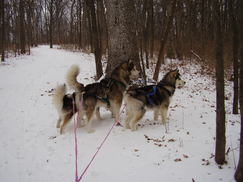 Winward Malamutes Lucy and Flint mushing.