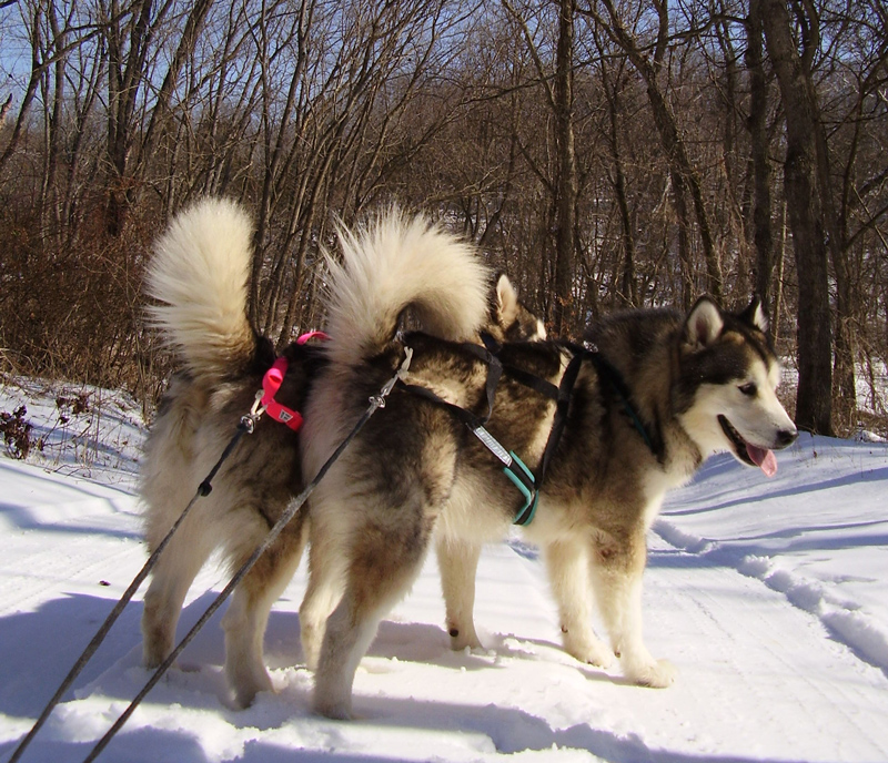 Winward Malamutes Justice and Tess mushing.