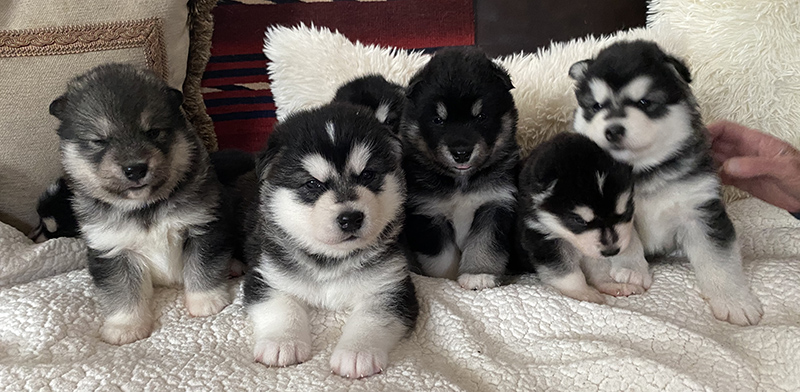 Winward Malamute Puppies